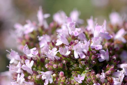 Kwiaty Oregano | magia-urody.pl