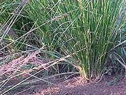 Vetiver | http://magia-urody.pl/aromaterapia